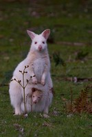 White Bennetts Wallaby